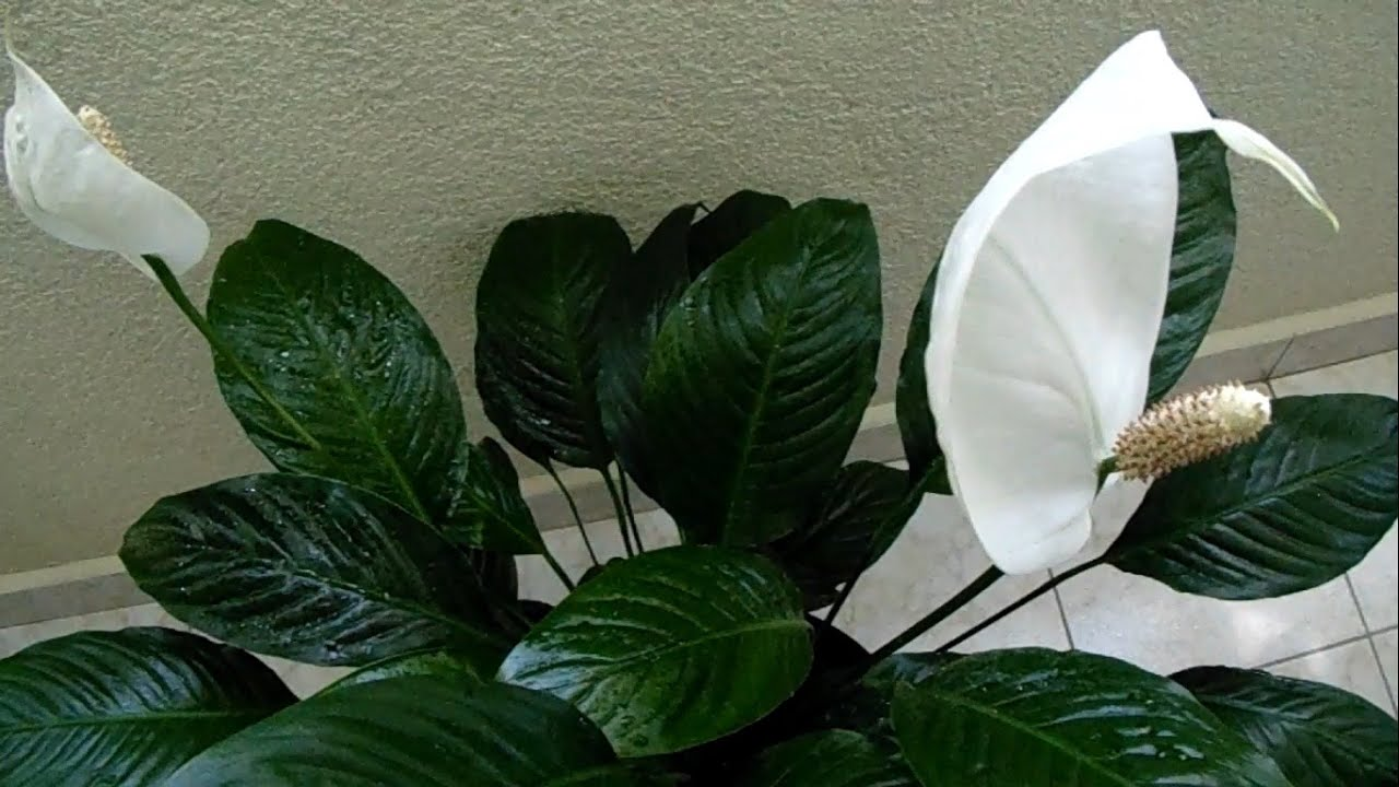 Peace lily spathiphyllum wallisii youtube for Spathiphyllum wallisii
