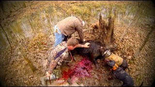 Huge Wild Boar Hunt with Dogs-Knife Kill (Warning: Very Graphic)