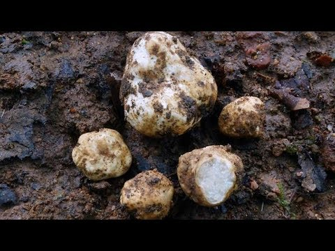 Scientists discover: Two new types of truffle have been unearthed in the northern tip of Thailand.