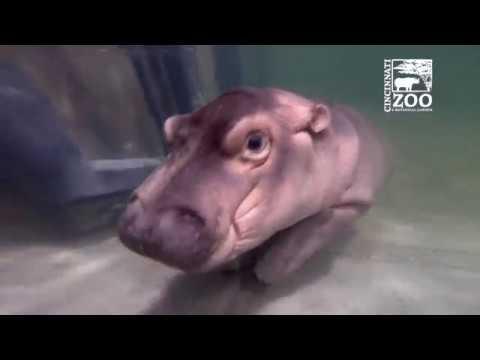 Baby Hippo Fiona - Episode 4 More to Explore - Cincinnati Zoo