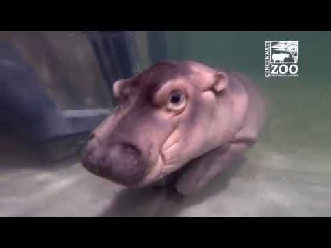 Baby Hippo Fiona - Episode 4 More to Explore - Cincinnati Zoo