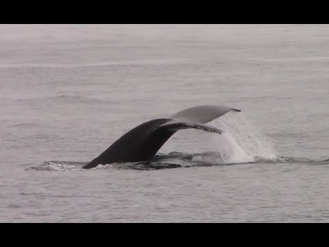 5.13.18 Humpback Whales, Risso's Dolphin & Pacific White-sided Dolphin