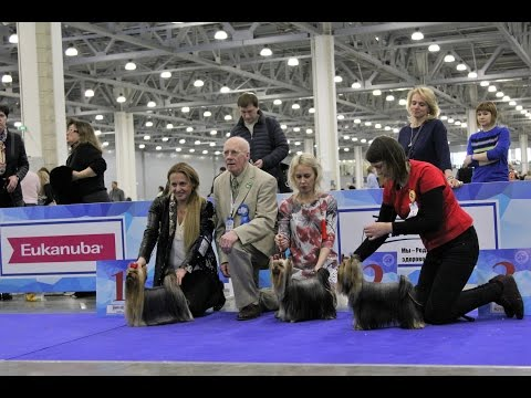 International Dog Show EURASIA I 2017, Yorkshire Terriers