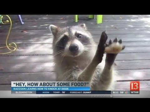 WATCH: Greedy raccoon steals cat food, knocks on door demanding more