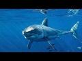 Un beau requin blanc à quelques km de Marseille