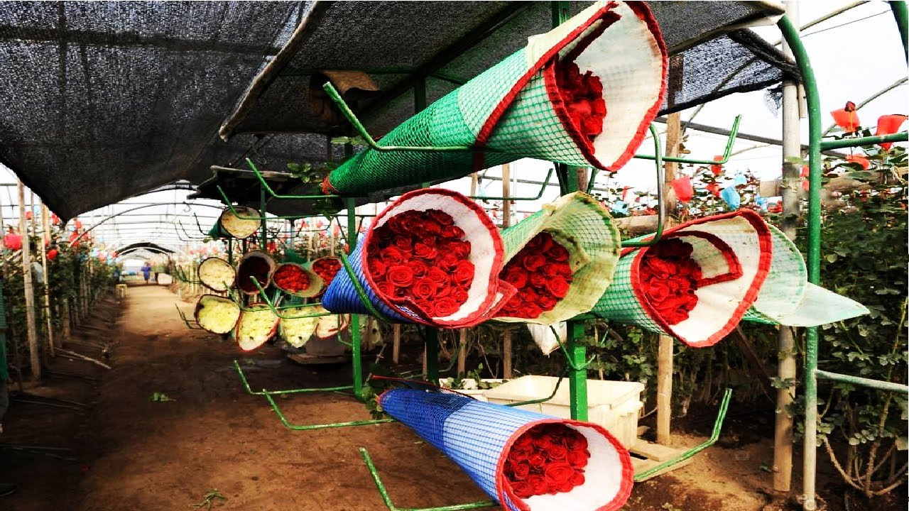 Best Rose Farming In Greenhouse - Planting and Growing Roses - Roses Harvesting