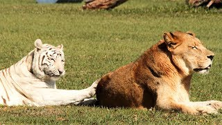white tiger and lion in 360