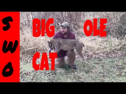 Incidental Bobcat Catch. What should you do?