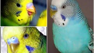 Клюв у волнистого попугая