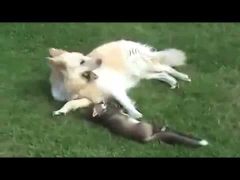 Fox and dog. Fox is playing with the dog