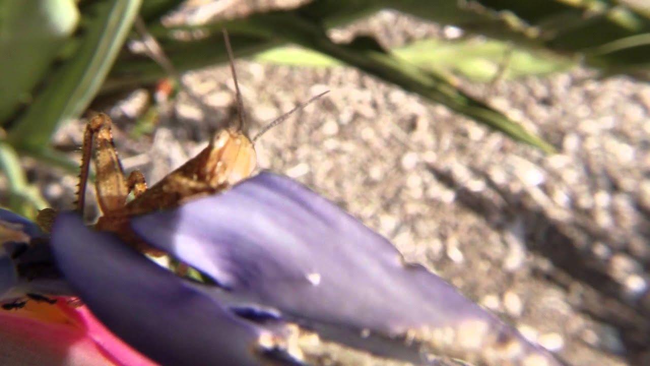 Grasshopper Under Macro - GoPro 3 Protune x20 ...