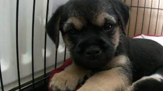 "Border Terrier ""tiggy Topaz"" Pups At 6 Weeks Old Having A Sleep (part 1)"