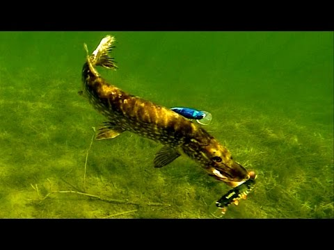 Pike attack Mike fishing lure underwater. Gäddfiske. Hechtangeln. Pesca del lucio Рыбалка атака щуки