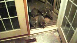 Raccoons and Peanut Butter Sandwiches
