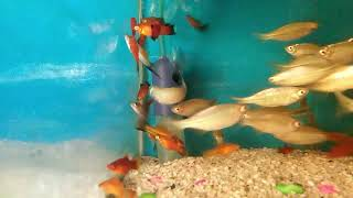 Colour Fish Amazing I Beautiful Fish For Decorate House I বিভিন্ন রঙের সুন্দর মাছ