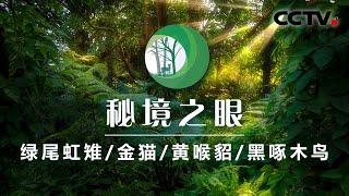 《秘境之眼》 绿尾虹雉/金猫/黄喉貂/黑啄木鸟 20200519| CCTV