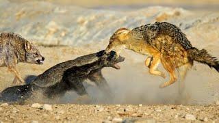 Он вам не БАРСУК! МЕДОЕД ПРОТИВ львов, леопардов, варана, змей, и даже крокодила! Медоед в деле!