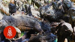 Preserving Prehistoric Lizards With the Iguana King