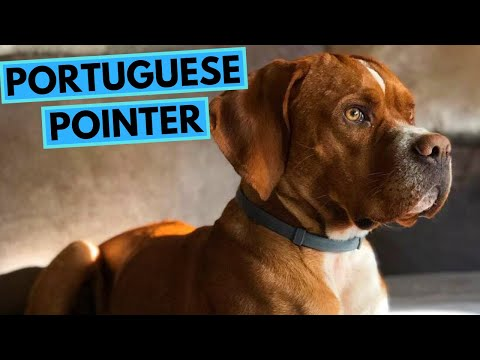 Portuguese Pointer Dog Breed – Facts and Information