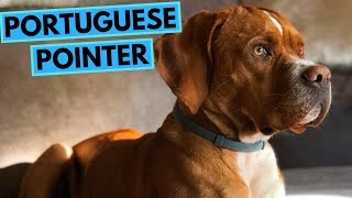 Portuguese Pointer Dog Breed  Facts and Information