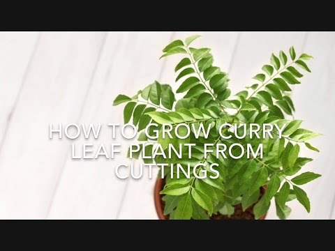 How To Grow Curry Leaf Plant From Cuttings // Using Rooting Hormone// Kitchen Gardening Ideas.