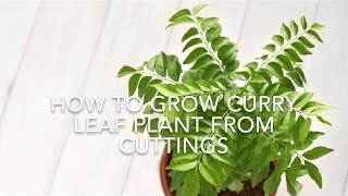 How To Grow Curry Leaf Plant From Cuttings // Using Rooting Hormone// Kitchen Gardening Ideas. thumbnail
