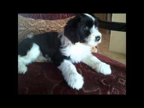 Тибетский   Терьер/Tibetan Terrier (порода собак HD slide show)!