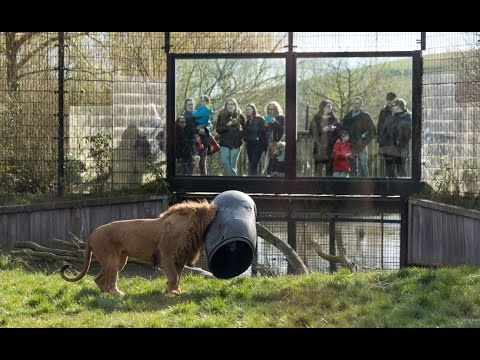 UNBELIEVABLE Lion gets stuck with its head in a feeding-barrel!