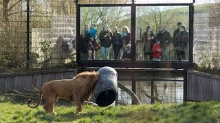 UNBEL EVABLE Lion Gets Stuck With Its Head In A Feeding Barrel