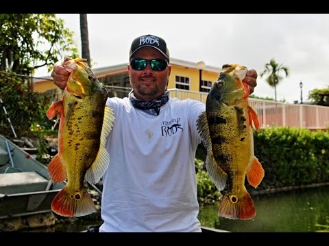 Miami peacock bass fishing with trevor of fitzgerald rods for Peacock bass fishing miami