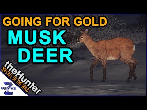 Going for Gold Musk Deer Call of the Wild