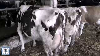 Болезни коров. Как избежать перегулов у коров. How to avoid fruitless inseminations in cows