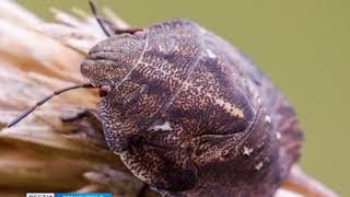 «Клопы-черепашки атакуют поля»: так ли вредны и опасны на самом деле эти насекомые