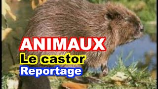 ETHOLOGIE : Le castor européen (Castor fiber)