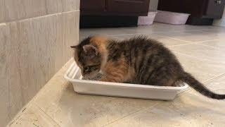 Litter Box Training  4 weeks Kitten Update