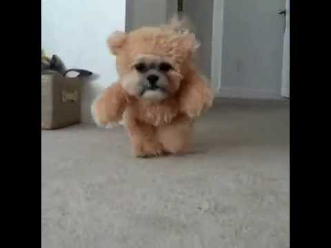 A dog in a teddy bear costume. : videos