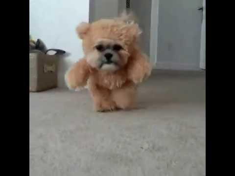 A dog in a teddy bear costume. : videos