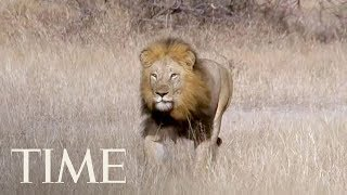 South African Pride Of Lions Reportedly Ate A Suspected Poacher At Kruger National Park | TIME