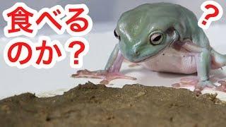 カエルは地面に張り付いた餌を食べるのか?検証してみた‼︎ thumbnail