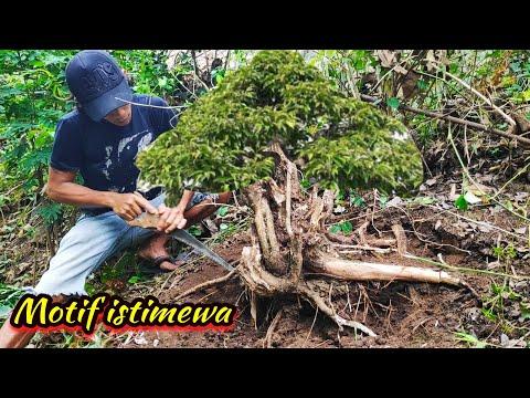 Ficus Bonsai Care Teunis Jan Klein Youtube