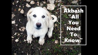 Akbash dog breed ( All You Need To Know)