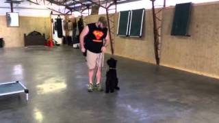 Lark- Giant Schnauzer Protection Obedience Trained Home Protection