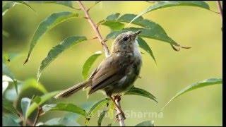 Brown-flanked Bush Warbler - Song