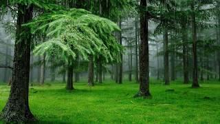Скачать Дождь лес пение птиц Поющие птицы в дождливый день Лес наполненный звуками природы