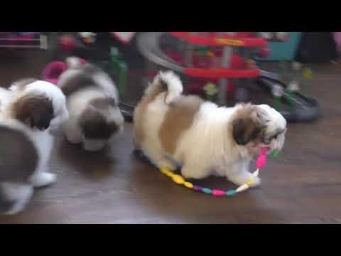 Ши-тцу щенки разных окрасов