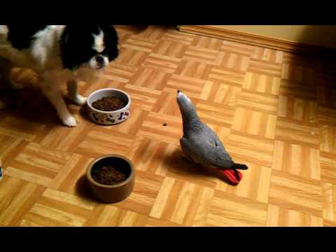 Dog gave  African grey parrot a piece of dog food.