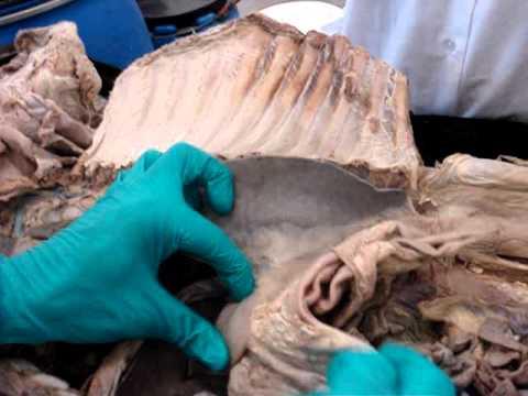 Anatomía veterinaria Cavidad abdominal, esófago en ternero.MPG - YouTube
