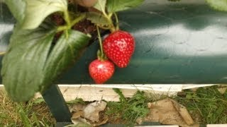 How to grow Strawberries in Hydroponics #2 2013