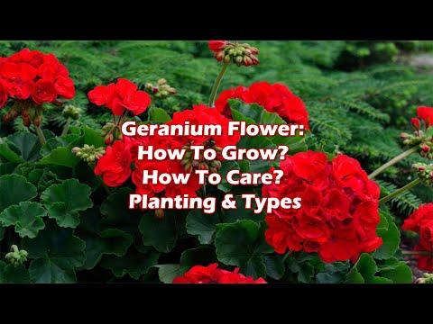 Geranium Flower: How To Grow? How To Care? Planting & Types