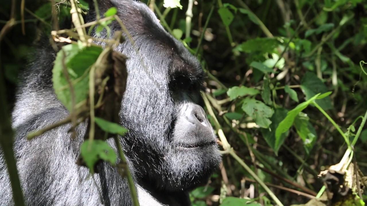 Fabulous RDC Congo Parc Virunga Gorille Dos argenté / Congo Virunga Park  DU81